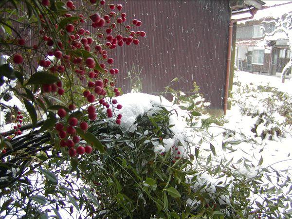 雪をかぶった南天の様子